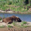 Brown Bear Napping